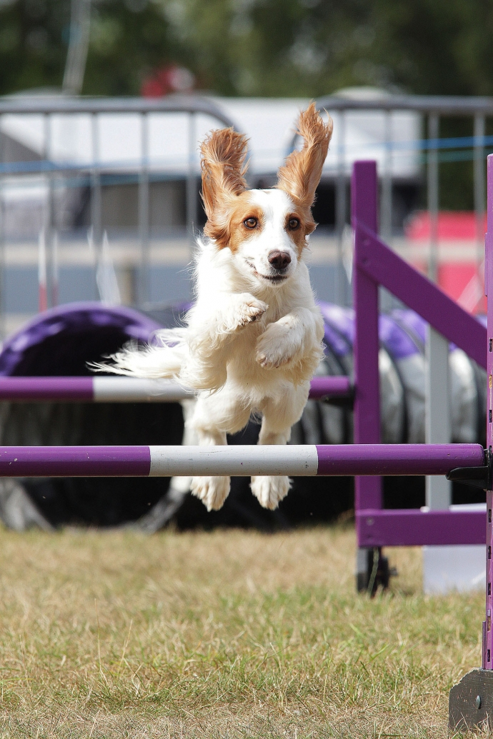 Dogs In Need Agility Society Annual Show - August 2017